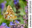 butterfly in natural habitat (issoria lathonia) - stock photo