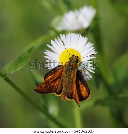 Butterfly large skipper (Ochlodes sylvanus) on a daisy flower.