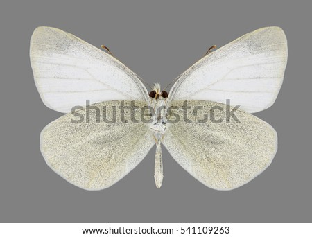 Butterfly Pieris pseudorapae suffusa on a black background