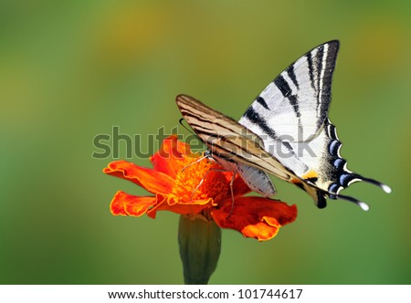 butterfly  Scarce Swallowtail  sitting on marigold