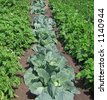 Cabbage, beans & potatoes growing in neat rows. - stock photo