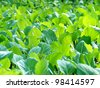 Cabbage vegetable - stock photo