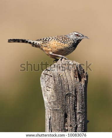 Cactus Wren - Guadalupe Mountains National Park