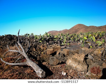 Cactuses and dead branches on a sandy volcanic hillside. Against the backdrop of mountains, volcanoes and deep blue sky. Lanzarote, Canary Islands, Spain