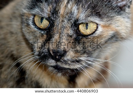 calico cat, intensely looking out of the frame. High detail in eyes