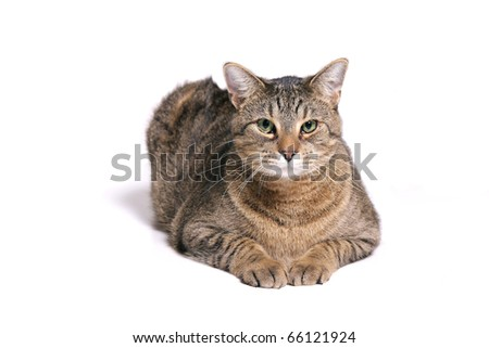 Calico cat on a white background
