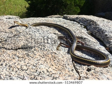California Striped Racer (snake), Coluber lateralis lateralis, coiled on a rock in the wild