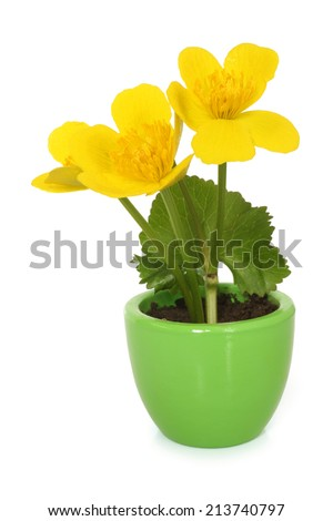 Caltha palustris in pot on white background