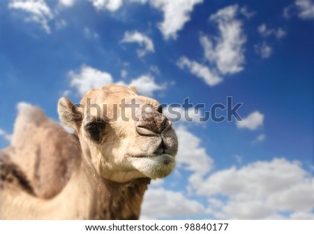Camel head agaisnt sky on the background