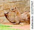 Camel in Zoo Thailand - stock photo