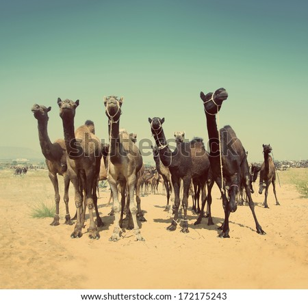 camels during festival in Pushkar India -  vintage retro style