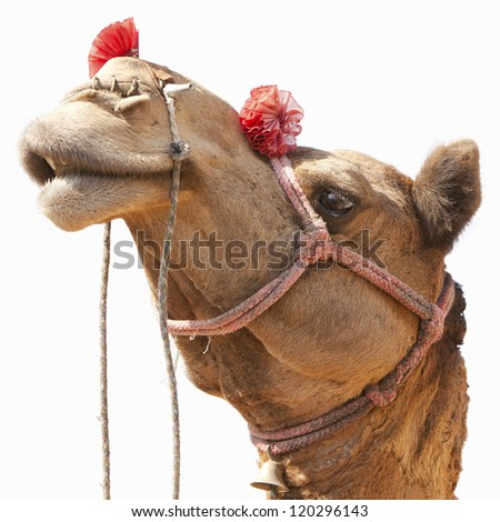 Camels for sale at the Nagaur cattle fair