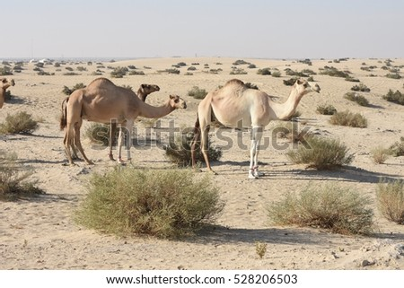Camels graze in the desert