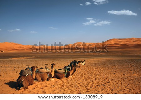 Camels ready to take you into the dessert