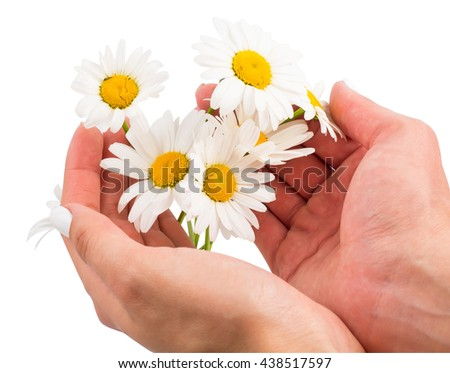 Camomiles in hands of the person on a white background