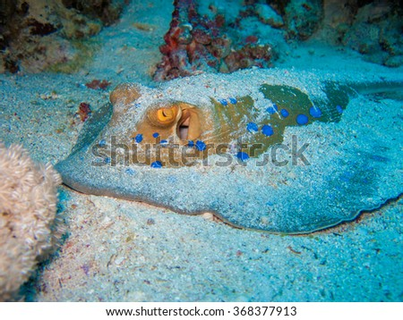 Camouflaged blue spotted stingray on sand