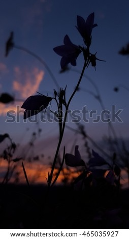 Campanula flower in the sunset against the sky - low key