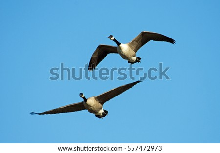 Canada Geese inflight with blue skies