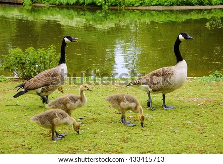 Canada goose (Branta canadensis) family walking at Vincennes forest. Paris (France)