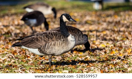 Canada goose bed autumn leaves foraging stock photo 528559972 shutterstock for Wisconsin exterior goose season