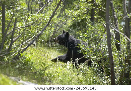 Canadian landscape with black bear in Alberta. Canada. Horizontal