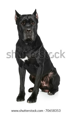Cane Corso breed dog on a white background