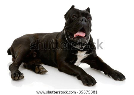 Cane Corso dog on white background