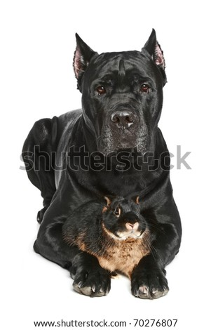Cane Corso dog with small rabbit lying on a white background