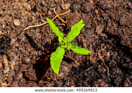 Cannabis Marijuana Green Young Plant over the Floor