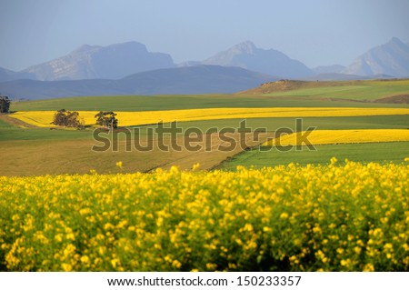 Canola field in the  South Africa