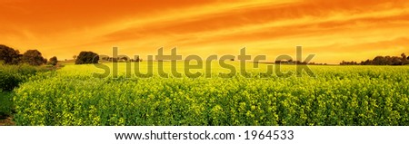 Canola Field with vivid sky