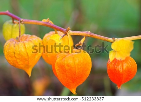 Cape Gooseberry in garden on nature background.