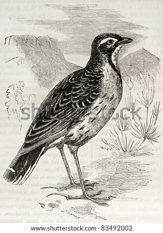 Cape Longclaw old illustration (Macronyx capensis). Created by Kretschmer, published on Merveilles de la Nature, Bailliere et fils, Paris, 1878