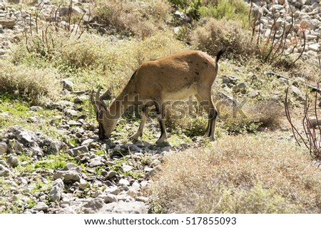 Capra aegagrus cretica, Cretan goat, Agrimi, Cretan Ibex, kri-kri goat, single wild cretan goat on pasture in old village in Samaria Gorge