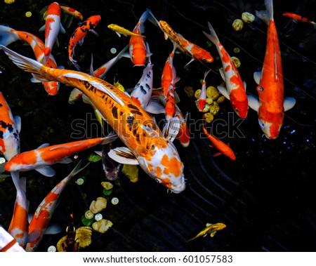 Koi fishes pond stock photo 58437595 shutterstock for Koi fish lifespan