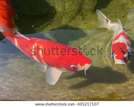 Koi fish stock photo 587266781 shutterstock for Koi fish swimming pool