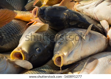 Fish Of The Carp Family In  Letters
