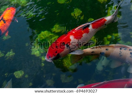 Koi fish swimming stock photo 319317908 shutterstock Koi fish swimming pool