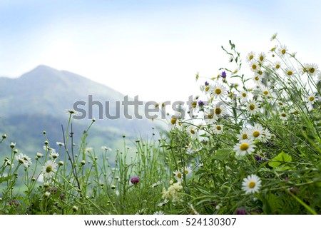 Carpathians. Mountains and blooming daisies. Background nature.