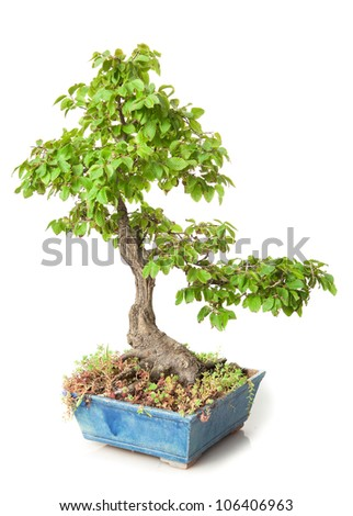 Carpinus bonsai isolated on white