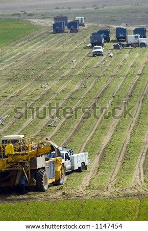 Carrot harvesting in Kern County, California, using mechanized harvesting equipment and trailers to transport the carrots to a processing plant. Workers are also ripping out the irrigation pipes