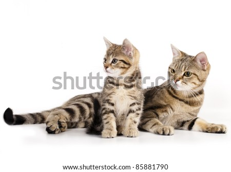 cat and kitten's mother, a European breed