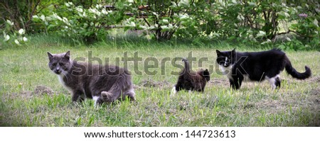Cat family walking together on nature.