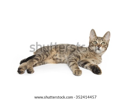 cat isolated laying down, Cat laying down