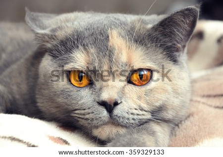 Cat looks at camera. Portrait of British shorthair cat closeup