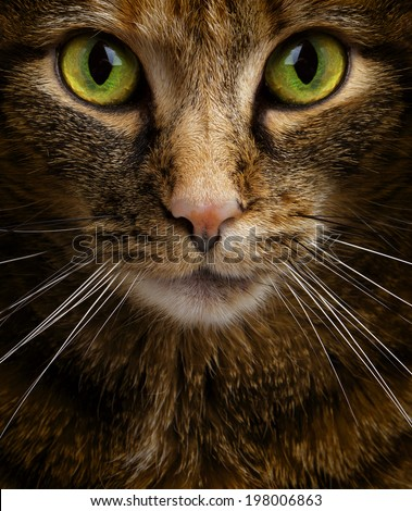 Cat Staring Intensely - stock photo | 379 x 470 jpeg 72kB