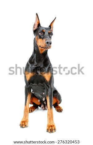 Catching look. Doberman pinscher sitting on white isolated background.