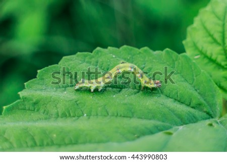 Caterpillar on green leaf