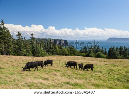 Cattle grazing against a background of the Bay of Fundy with Cape Blomidon in the distance under a blue summer sky with white fluffy clouds.