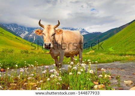 Cattle on a mountain pasture. Summer sunny day